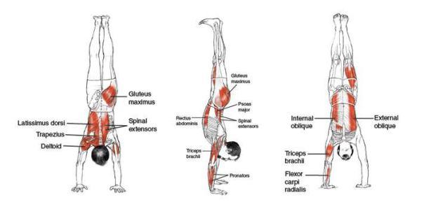 Músculos implicados en las flexiones invertidas o HSPU's